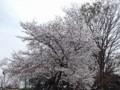 [地方][生物]花見してきた。13/03/22_満開