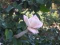 [生物]昔のケーキの飾りのような色のバラ@福岡市植物園