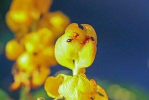 痩爽に含まれている成分である、キャンドルブッシュ、植物の写真。
