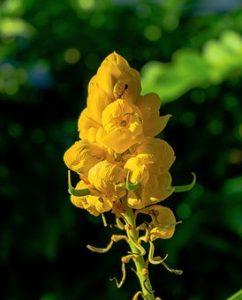黄色い花を咲かせる植物、キャンドルブッシュの写真。