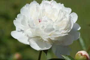 白く美しいシャクヤクが、大きく綺麗に開いて咲いている写真。