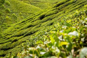 緑の美しい茶畑が、写真一面にを飾っている。