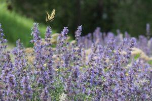 美しいラベンダー畑で、蝶々が飛んでいる写真。