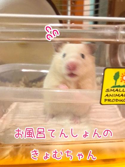 キンクマきょむちゃんお風呂