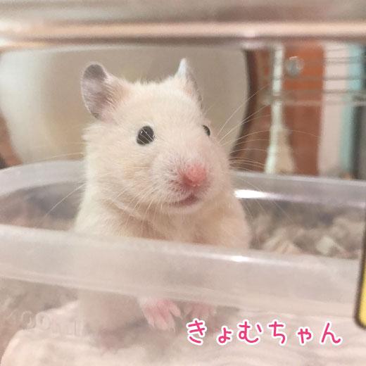 キンクマきょむちゃん