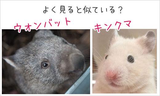 キンクマとウォンバットは似ている