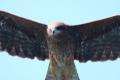 [鳥]東京湾フェリーの上空を飛ぶトビ
