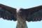 東京湾フェリーの上空を飛ぶトビ