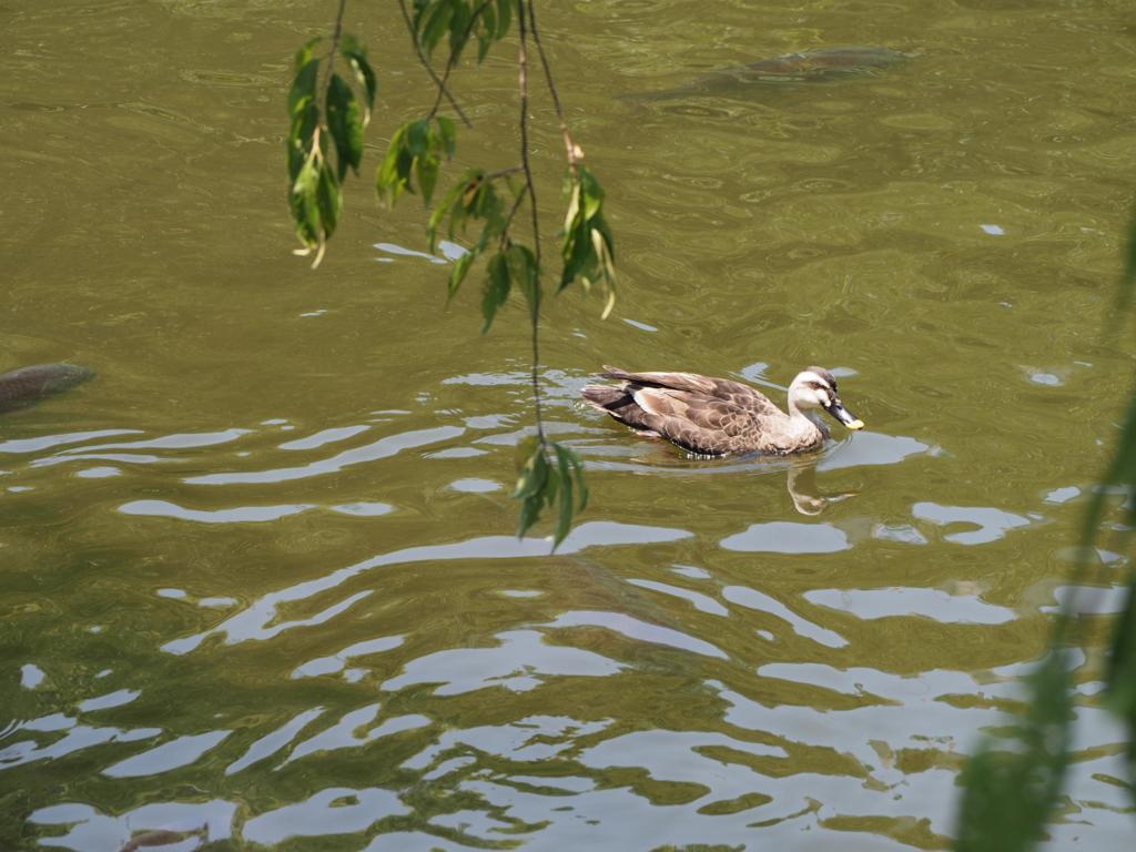 境内の池を泳ぐ鴨