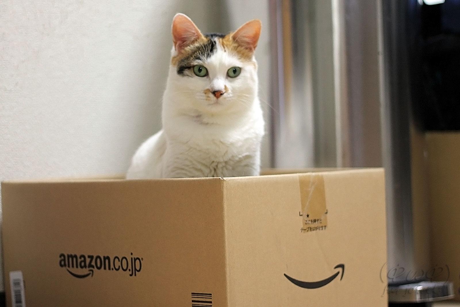 段ボール箱の中でたたずむ猫
