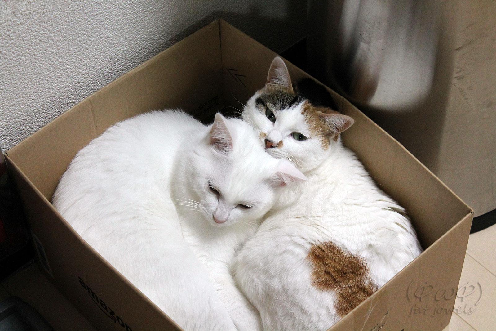 仲良く2頭で段ボール箱の中に収まる猫