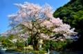 桜には穏やかな青空