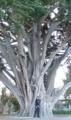 ニュージーランドの木