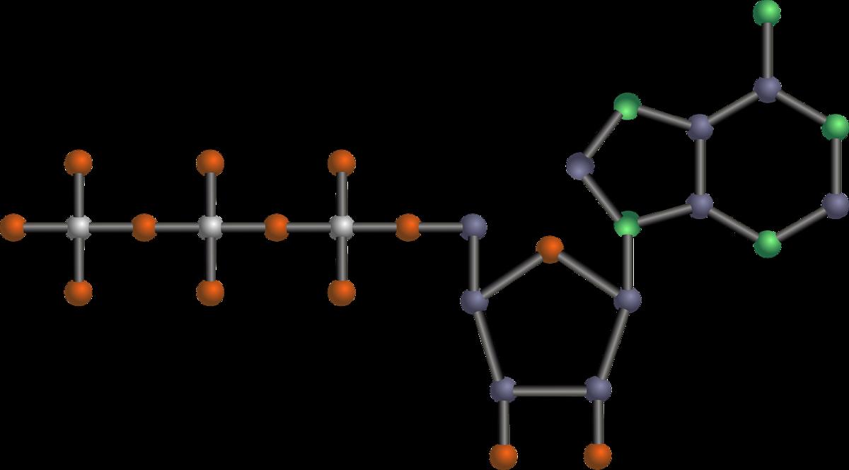 アデノゲンに配合されているアデノシンとは?