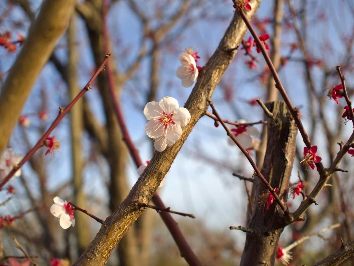 埼玉県で撮影した梅の花