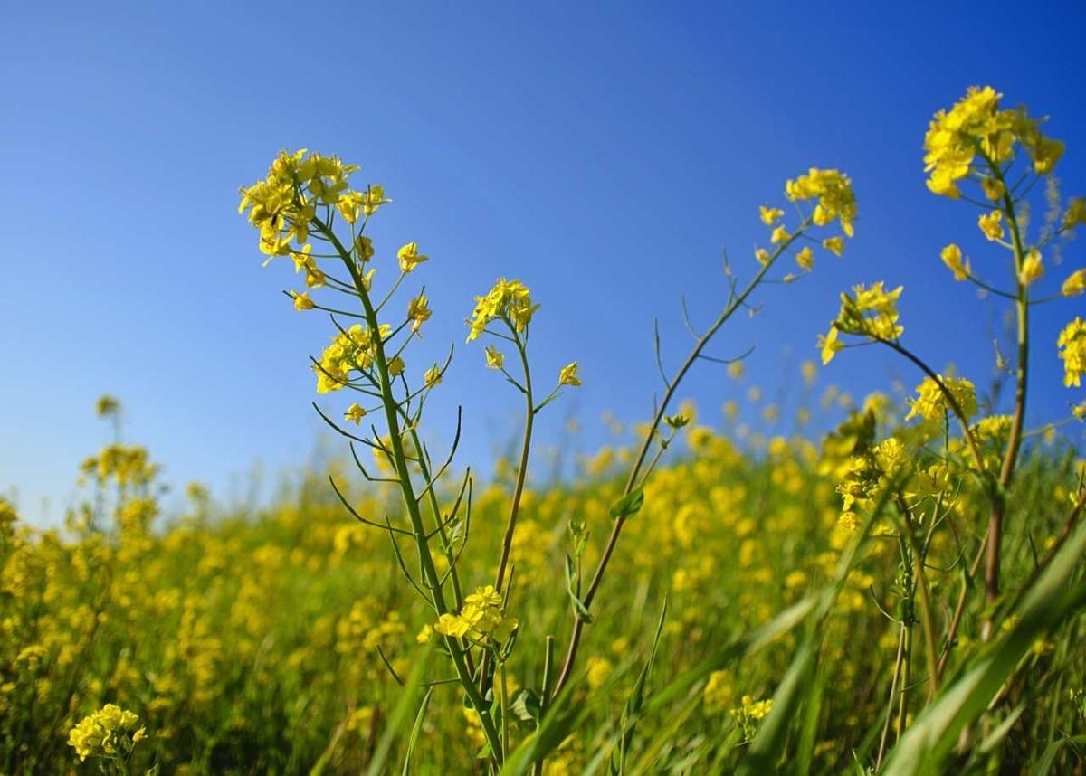 荒川河川敷の菜の花