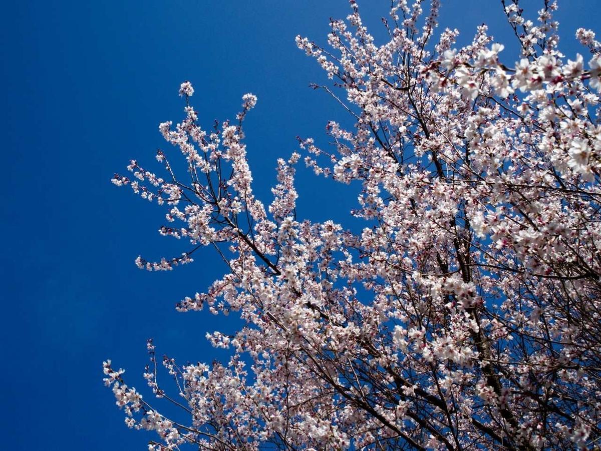 田柄川緑道 今季初の桜