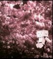 [ダンボー/cherry] ダンボー夜桜
