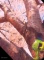 [桜 花見 モンスター] 桜満開…休憩するか…