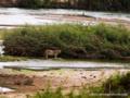 川辺のライオン(メス)