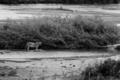 水辺のライオン
