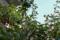 洋ナシの木