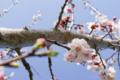 古代ローマの水道橋遺跡公園の桜