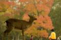 [奈良][紅葉][鹿][東大寺]