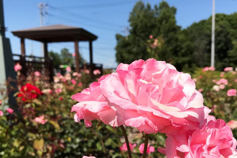 薔薇の花1