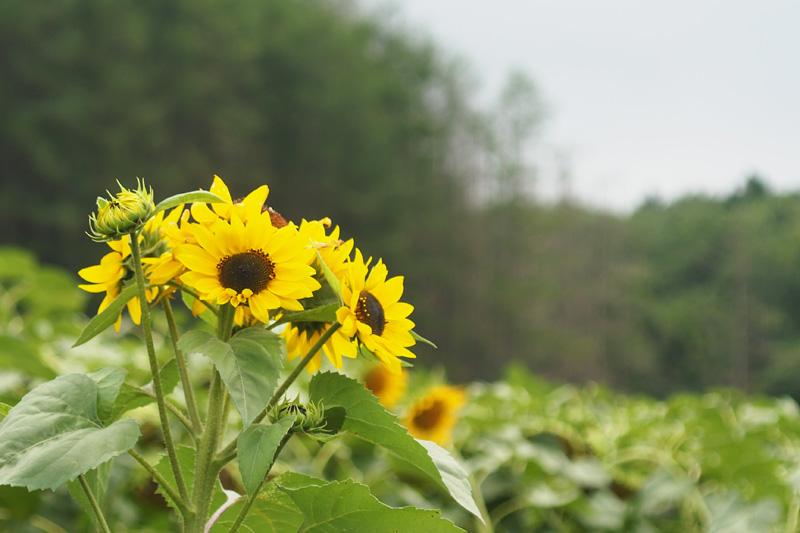 ひまわりの花束