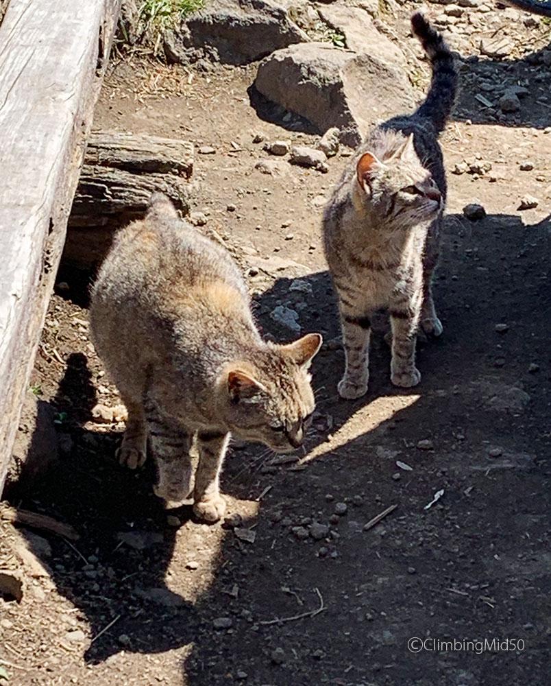 金時山の猫