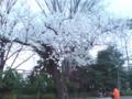 20120414花見の桜