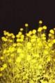 夜を好む花