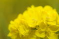 [菜の花][春][花]