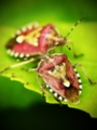 [生物]斑髭亀虫