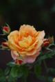 薔薇「万葉」