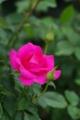 薔薇 「うらら」