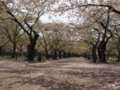 [風景][桜]城内の桜は散り始めていました。