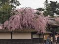 [風景][桜]鶴ヶ城城内のしだれ桜。