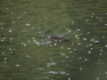 [風景]鶴ヶ城のお堀。桜の花びらが漂う中を、鯉が泳いでいました。