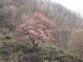 [風景]戸赤の山桜。残念ながら、まだ咲き始めでした。