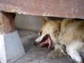 うちの犬 テン(オス) 血統書の名前 バートラム
