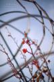 朝の薔薇-植木鉢/岡山市東区豊田にて