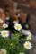 レストランの風景-白い花/岡山市北区石関町にて