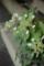 いかしの舎の風景-山紫陽花の花/岡山県都窪郡早島町早島にて/岡山県都