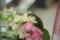 花瓶の紫陽花/岡山市北区駅元町にて