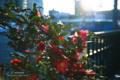 岡山市北区天神町の風景写真 - 椿