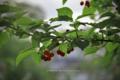 岡山市中区沖元の風景写真 - サクランボ/桜桃