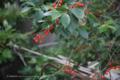 都窪郡早島町の風景写真 - サクランボ/桜桃