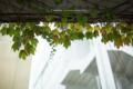 岡山市北区昭和町の風景写真 - The leaf of an ivy